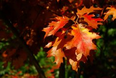 Red oak leaves. The image shows some beautiful red oak leaves in autumn royalty free stock photo