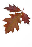 Red oak leaves. Three red oak leaves isolated on white, empty space, vertical image royalty free stock photography