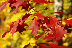 Red oak leaves. Some beautiful red oak leaves in autumn stock image