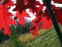 Red oak leaves. Bright red colorful oak leaves on the young oak tree in the fall Royalty Free Stock Photos