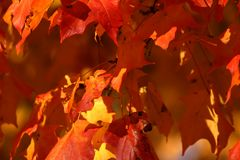 Red oak leaves. In the fall royalty free stock photo