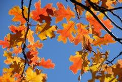 Red Oak Leaves Stock Image