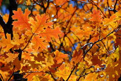 Red Oak Leaves Stock Images