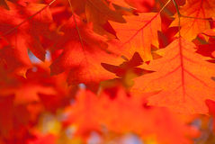 Red oak leaves close-up. stock photos