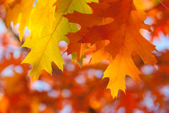 Red oak leaves close-up. Stock Images