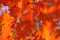 Red oak leaves close-up. Royalty Free Stock Photography