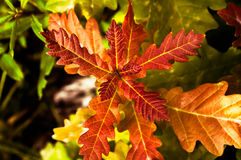 Red oak leaves on a contrasting background Royalty Free Stock Image