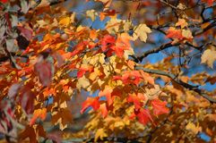 Red Oak Leaves in the Fall. Against blue sky royalty free stock photos
