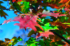 Red oak leaves. Fall colors: Red, green and yellow oak leaves Stock Photography
