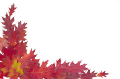Red oak leaves on a light background Stock Photos