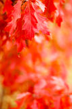 Red Oak Leaves Stock Photos