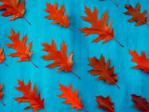 Red oak leaves pattern on a blue background. Red autumn leaf oak isolated on white background stock image