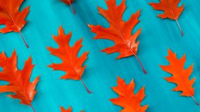 Red oak leaves pattern on a blue background. Red autumn leaf oak isolated on white background stock images