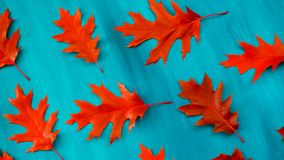 Red oak leaves pattern on a blue background. Red autumn leaf oak isolated on white background stock photo