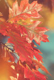 Red oak leaves in sunlight Royalty Free Stock Photography
