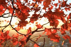 Red oak leaves on sunset. Red autumn leaves of oak tree on branches with sun behind during sunset stock photography