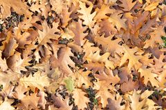 Red oak leaves texture on ground royalty free stock photo