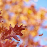 Red_Oak. Red Oak Leaves on a tree Royalty Free Stock Image