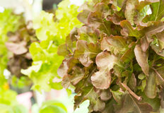 Red oak lettuce Stock Image