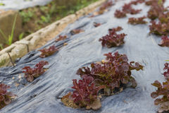 Red oak lettuce growing in the farm Royalty Free Stock Photos