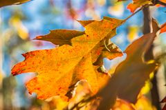 The red oak stock photo