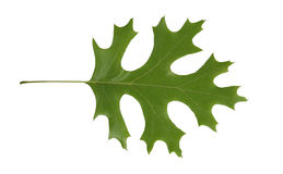 Red Oak, Quercus rubra, leaf isolated. Red Oak, Quercus rubra, tree leaf isolated over white background Royalty Free Stock Photography
