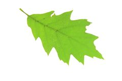 Red Oak (Quercus rubra) Royalty Free Stock Images