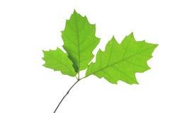 Red Oak (Quercus rubra) Royalty Free Stock Photos