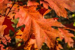 The red oak royalty free stock photo