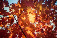 The red oak royalty free stock images