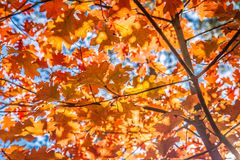 The red oak stock images