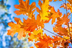 The red oak royalty free stock photography