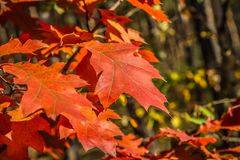 The red oak stock photography