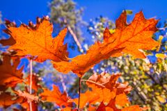 The red oak stock image
