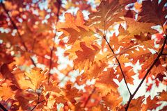 The red oak royalty free stock image