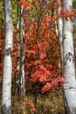 Red Oak Saturation. Autumn colors with white aspen trunks and deep red oak brush Stock Image