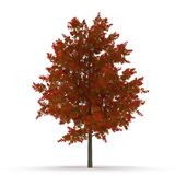 Red Oak Tree Autumn on white. 3D illustration. Red Oak Tree Autumn on white background. 3D illustration Royalty Free Stock Image