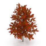 Red Oak Tree Autumn on white. 3D illustration. Red Oak Tree Autumn on white background. 3D illustration Royalty Free Stock Photography