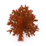 Red Oak Tree Autumn on white. 3D illustration. Red Oak Tree Autumn on white background. 3D illustration Stock Photography