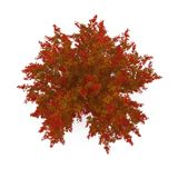 Red Oak Tree Autumn on white. 3D illustration. Red Oak Tree Autumn on white background. 3D illustration Royalty Free Stock Images