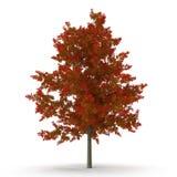 Red Oak Tree Autumn on white. 3D illustration. Red Oak Tree Autumn on white background. 3D illustration Stock Photos