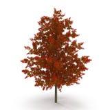 Red Oak Tree Autumn on white. 3D illustration. Red Oak Tree Autumn on white background. 3D illustration Royalty Free Stock Photos