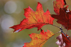 Red Oak Tree in Fall Stock Images
