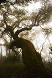 Forest Foggy Day, Red Oak Tree, Secular Woods, Nature, Planetarium Stock Photography
