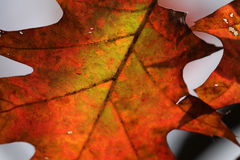 Red Oak Tree Leaf Macro. A close up of a back lit crimson autumn oak tree leaf Royalty Free Stock Photography