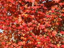 Red Oak Tree Leaves. Red and orange Oak tree leaves in the Fall royalty free stock photography