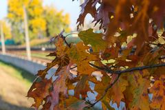 Red oak tree, leaves of red oak