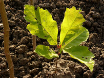 Red oak tree sapling Stock Image