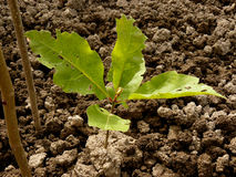 Red oak tree sapling Stock Photo