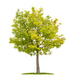 Red oak tree on a white background Royalty Free Stock Image